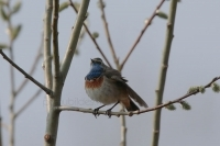White-spotted Bluethroat without white spot
