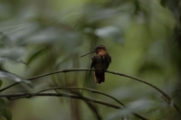 Saw-billed Hermit